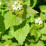 garlic mustard,foraging,identification,wild food