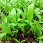 Wild Garlic/Ramsons
