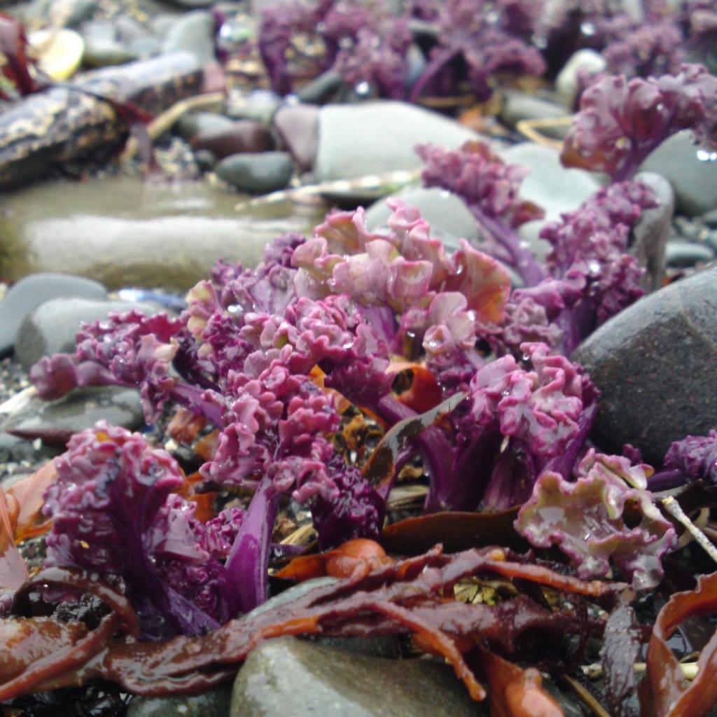sea kale shoots