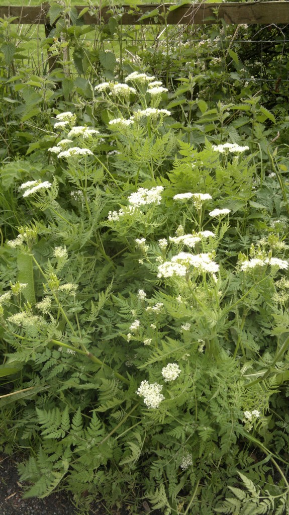 sweet cicely,foraging,identification,wild food