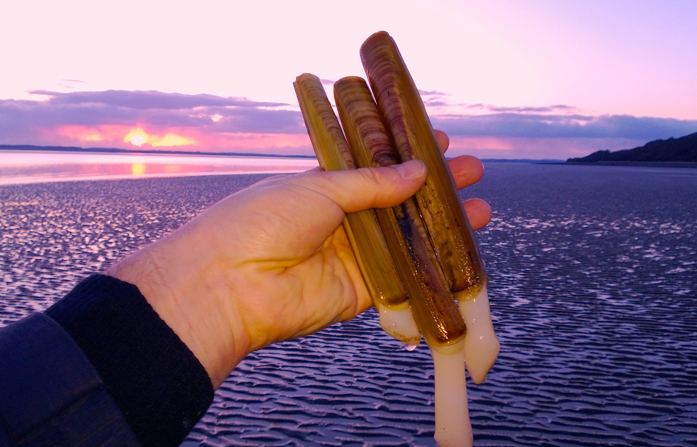 Image result for pics of razor clam
