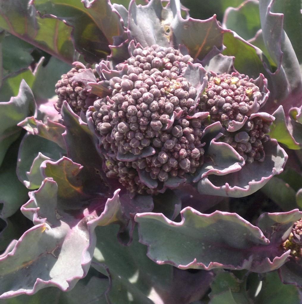 sea kale floret
