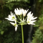 wild garlic flower
