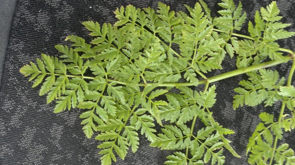 Hemlock leaf structure