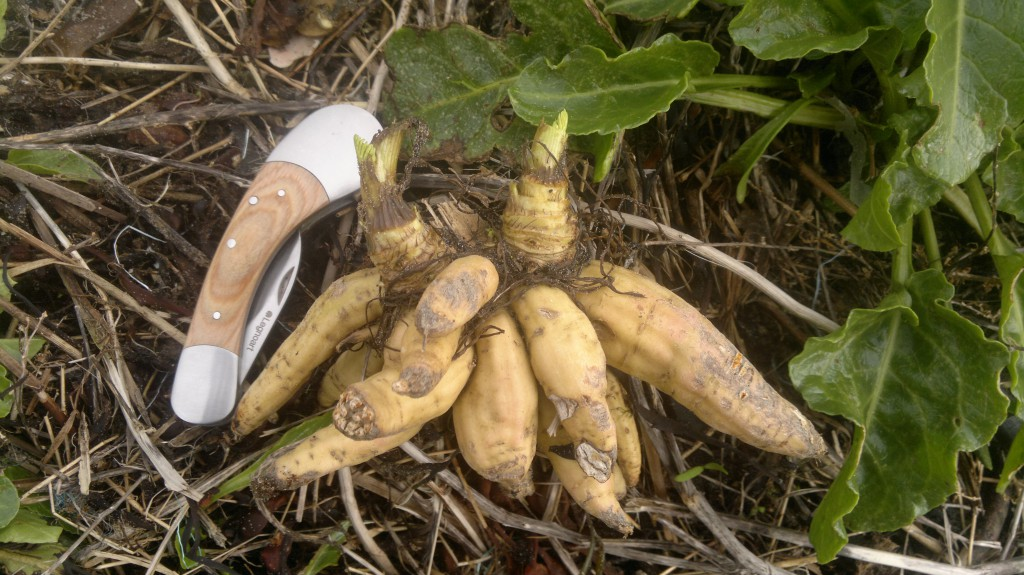 Dead Men's Fingers - the roots of Hemlock water-dropwort. I found these washed up after a storm