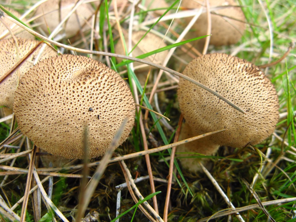 Stump puffball (lycoperdon pyriforme). Grows in large clusters on treestumps. Finer warts, browner and more pear-shaped than common puffball.