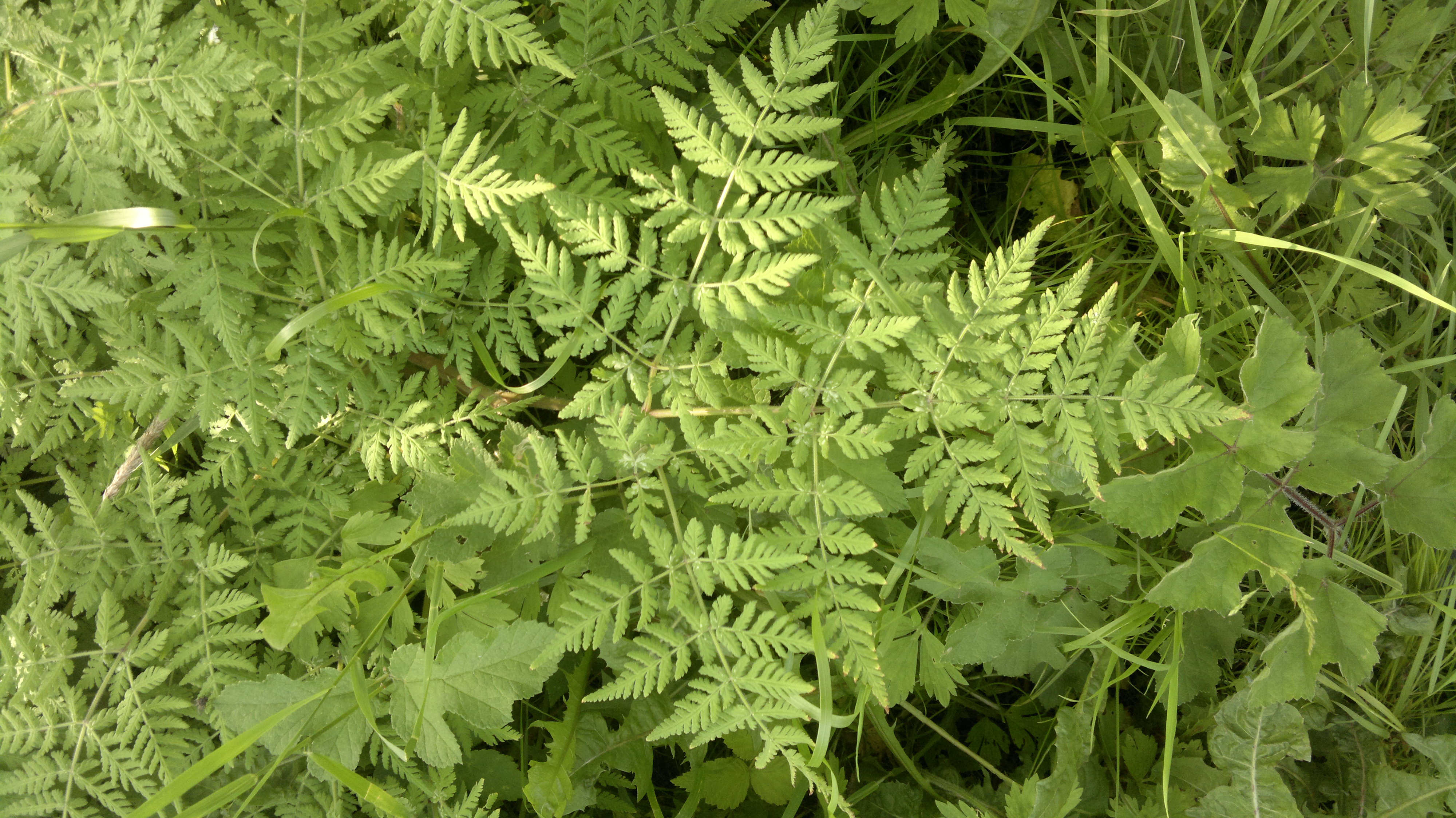 Sweet cicely