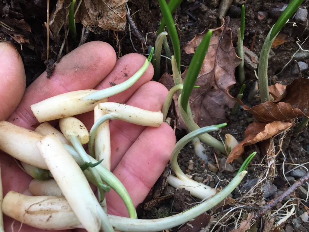 Wild garlic bulbs - not recommended for digging up, but if they get washed out, seems a shame to let them perish...