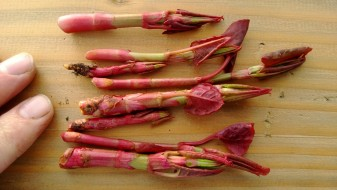 Japanese knotweed shoots at their prime edible stage