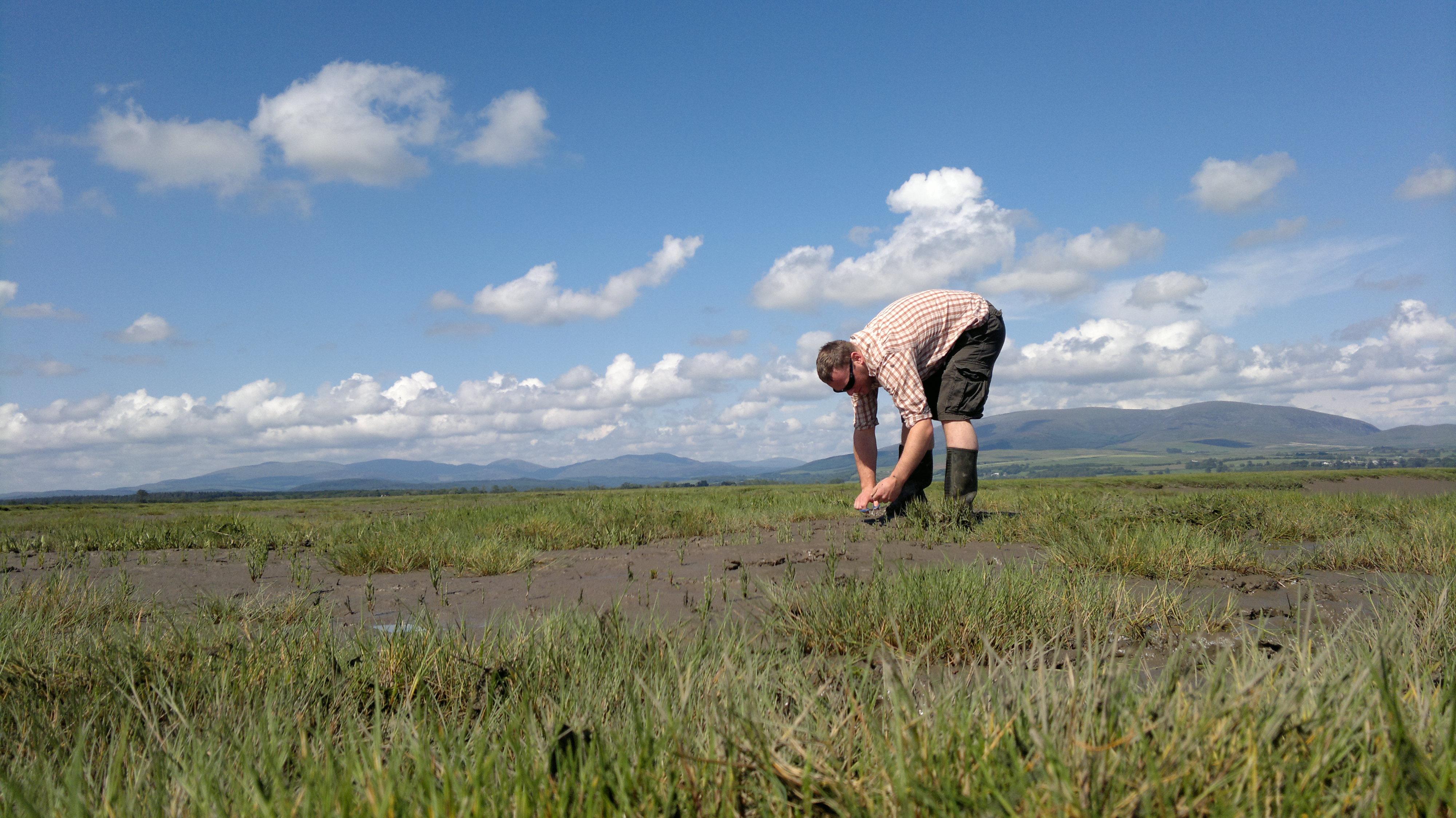 harvesting marsh samphire