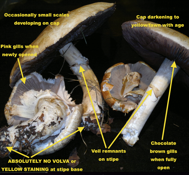 Horse mushrooms – edibility, identification, distribution.