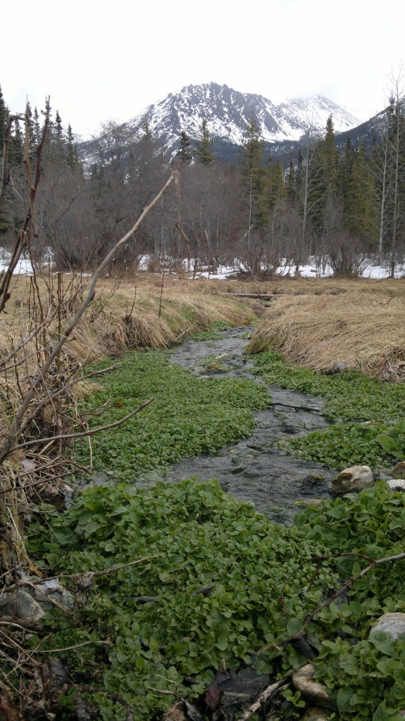 Wild food can be found if you look hard and get lucky: We found this watercress thriving in a warm spring that bubbled up through the ice!