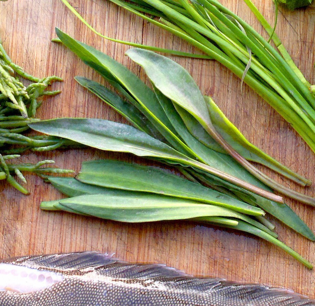 Mature sea aster leaves - still good eating
