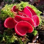 Scarlet elf cup cluster