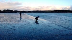 Razor clam foraging