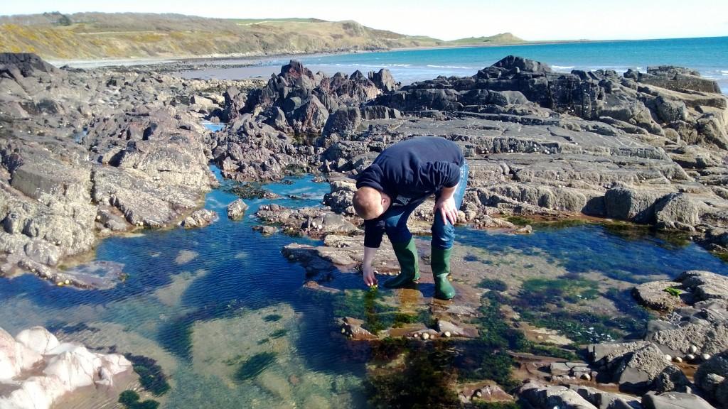 Seeking sea lettuce in rockpools
