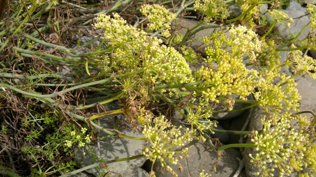 rock samphire seed heads