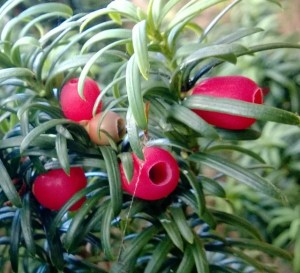 Yew - highly toxic, except for the berry flesh
