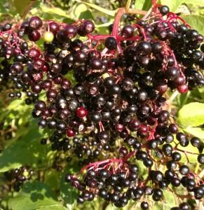 Elderberries - make a wonderful fruit vinegar - click for recipe