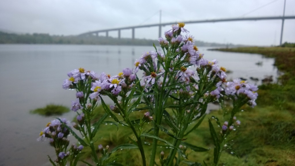 sea aster bridge