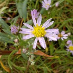 sea aster flower
