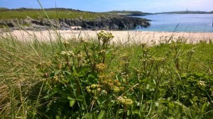 Scots lovage - an aromatic northern member of the carrot family - on Islay's Atlantic coast
