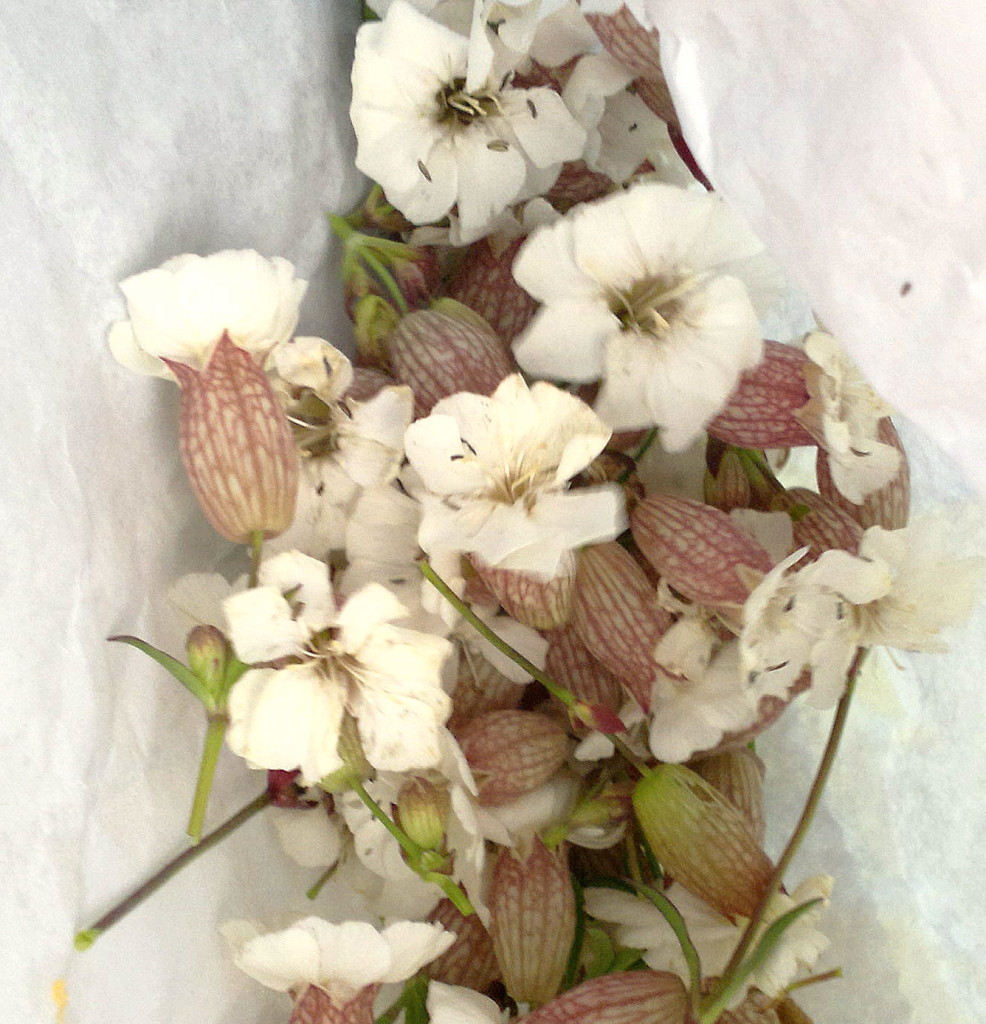sea campion flowers in bag
