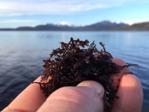 Pepper dulse, Skye Cuillin beyond
