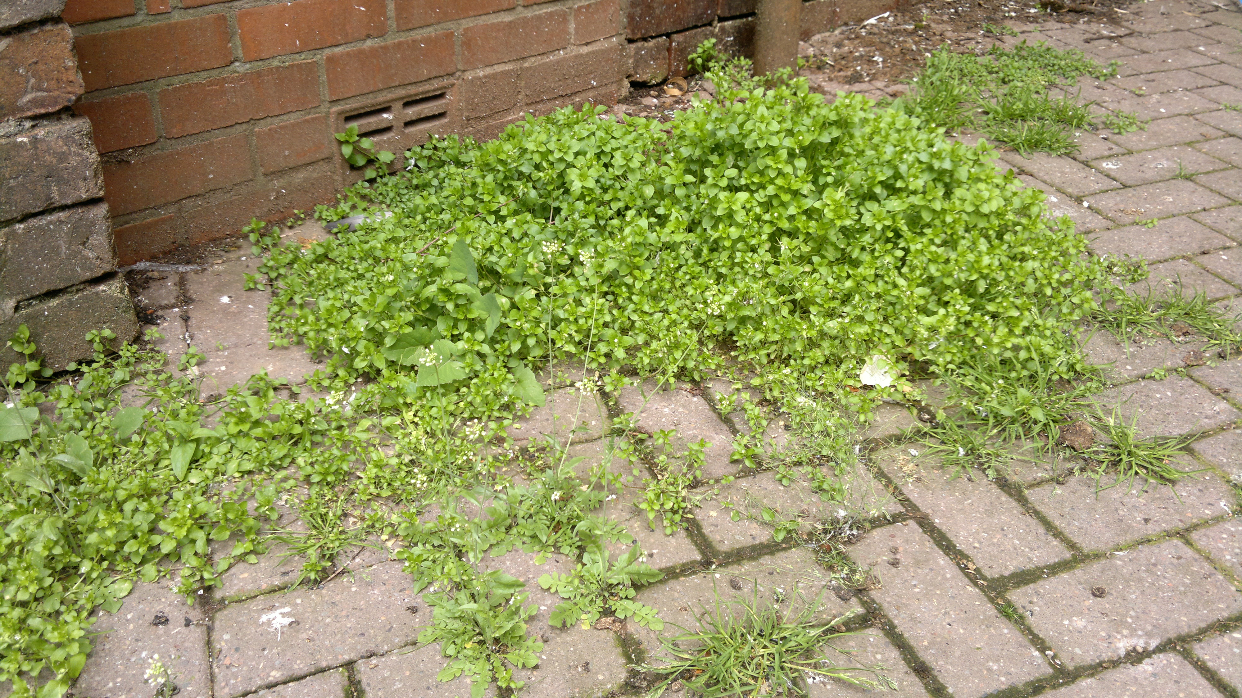 Chickweed is also common in urban environments be aware of pollution