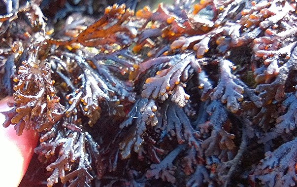 pepper dulse, identification, distribution, edibility,