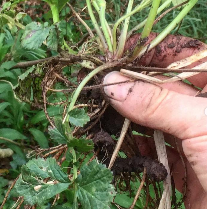 LIVE Perennial plant Herb Bennet Wood Avens Geum coccineum Avens Colewort,\u0413\u0440\u0430\u0432\u0438\u043b\u0430\u0442 Cook