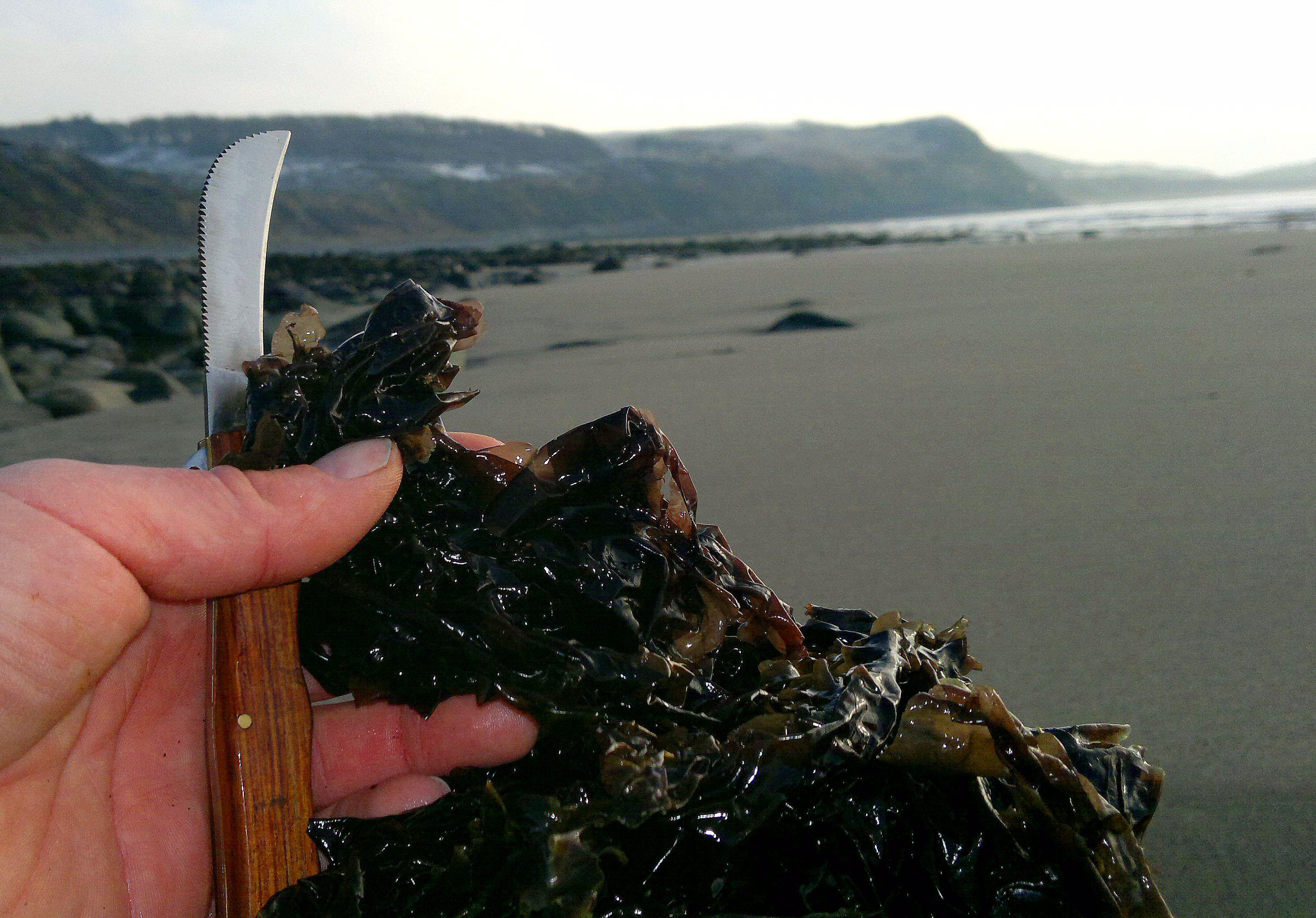 Laver, seaweed, porphyra, laverbread, foraging, wild food, nori