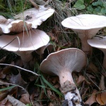 trooping funnel, infundibulicybe geotropa, fungi, ID, foraging, edibility