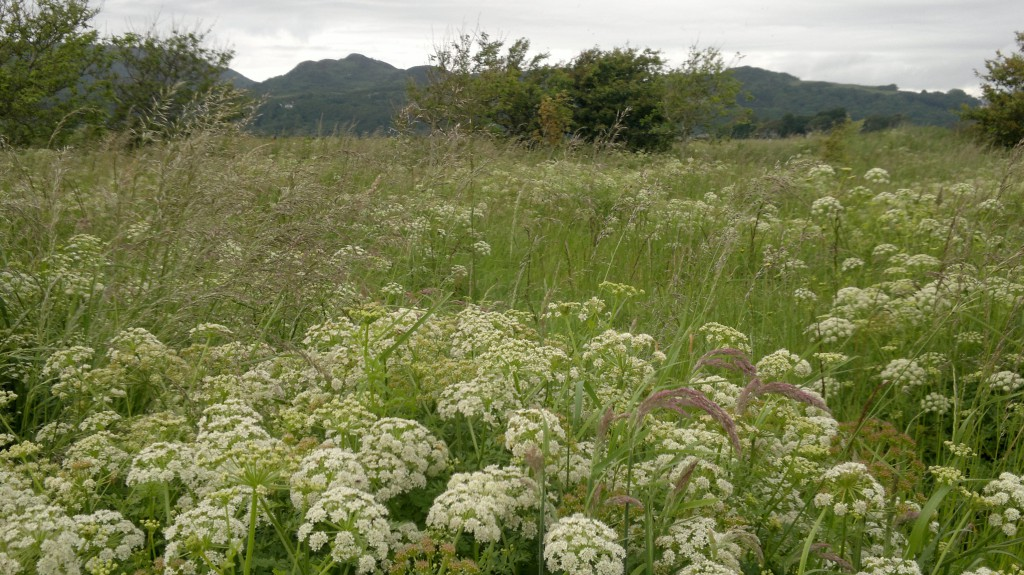 "Hemlock Water-dropwort ""water meadow"", June"