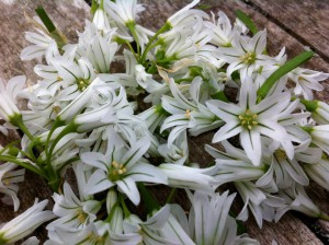 3 corner leek flowers (allium tiquertum). This image courtesy of John Rensten at Forage London