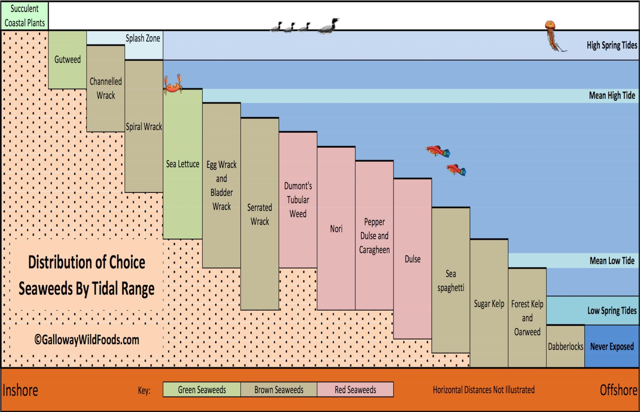 Sugar Kelp  U2013 Identification  Edibility  Distribution