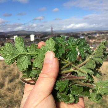 Hogweed Shoots, Dundee