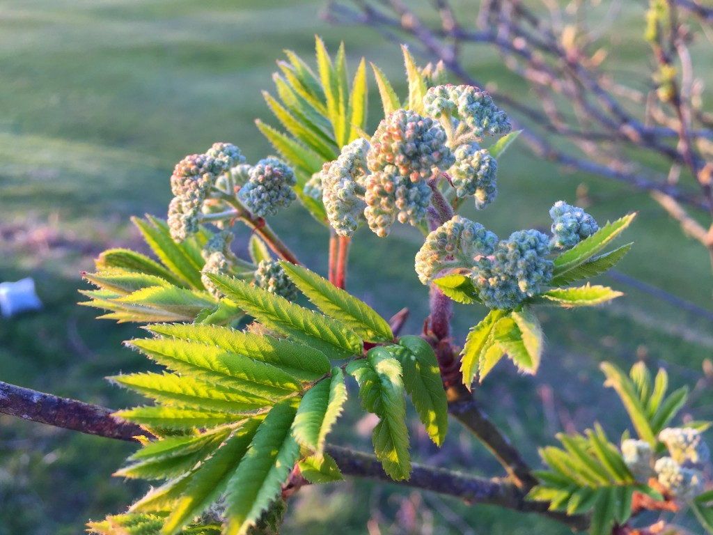 Rowan buds and shoots