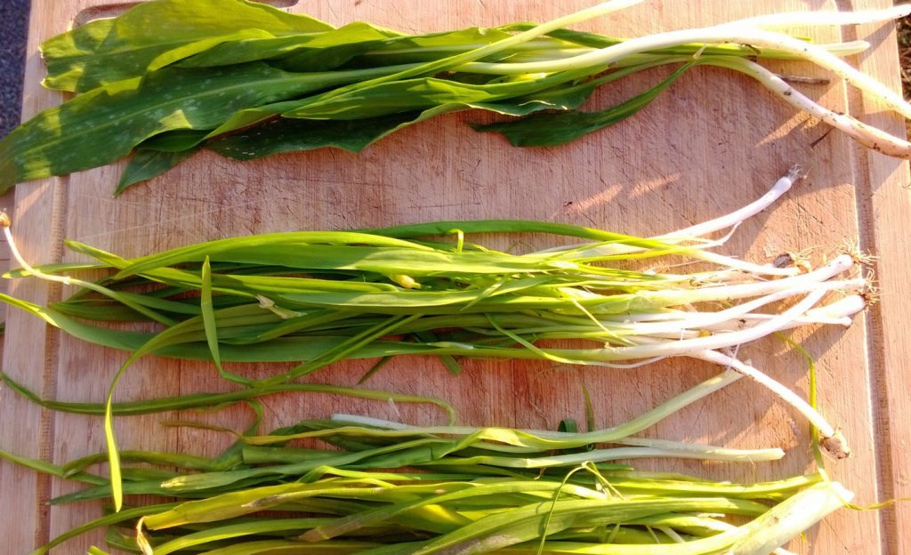 Know Your Onions An Introduction To The Allium Onion Family For